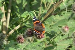Atalanta Vanessa - адмирал бабочки стоковая фотография rf