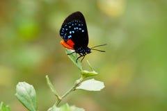 Atalavlinder stock afbeeldingen