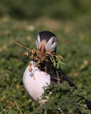 Atalntic Puffin with beak full of nesting material Stock Photos