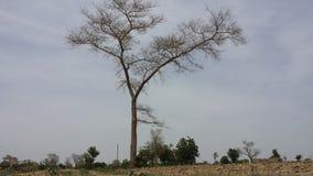 Glamorous. A tree in bongo, ghana Royalty Free Stock Image