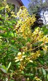 Atapethiya amarelo Fotografia de Stock Royalty Free