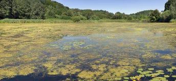 Ataque amarelo da alga o lago da floresta foto de stock royalty free