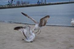 Ataque da gaivota Imagem de Stock