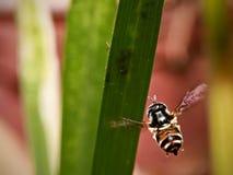 Ataque de la abeja Fotografía de archivo