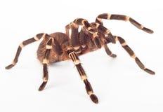 Ataque de la araña Imágenes de archivo libres de regalías
