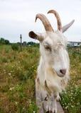 Ataque de la cabra Fotografía de archivo