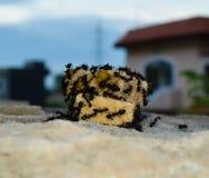 Ataque de la hormiga Foto de archivo libre de regalías
