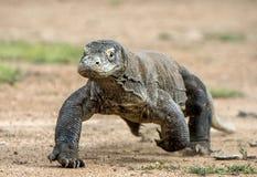 Ataque de un dragón de Komodo El dragón que corre en la arena El dragón de Komodo corriente (komodoensis del Varanus) imagen de archivo