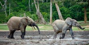 Ataque de un elefante. imagen de archivo