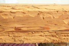 Ataque del escarabajo del fonolocalizador de bocinas grandes de la casa en la madera spruce imagenes de archivo