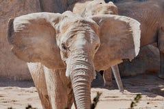 Ataque del ` s del elefante foto de archivo libre de regalías