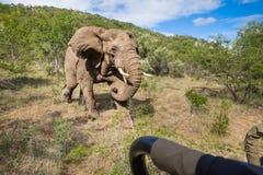 Ataque do elefante Imagens de Stock