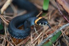 Ataque do natrix da serpente Imagens de Stock Royalty Free