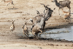 Ataque fracasado en cocodrilo al kudu y al unsuccessf de los antilops Foto de archivo libre de regalías