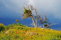 Ataque a iluminação em árvores windswept no parque nacional de geleira imagens de stock royalty free