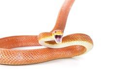 Ataque vermelho da serpente de rato de Texas fotografia de stock