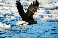 Ataques da águia de mar de Steller s Fotos de Stock