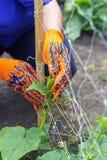 Atar los pepinos en el jardín que trabaja en el jardín que riega y Imagen de archivo libre de regalías