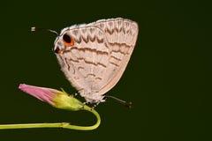 Atayalicus Leucantigius/della farfalla Fotografia Stock