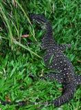 Ate el monitor (cordón Goanna) (varius del Varanus) lagarto Imagenes de archivo