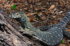 Ate el monitor (cordón Goanna) (varius del Varanus) lagarto Imagen de archivo