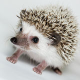 Atelerix albiventris, African pygmy hedgehog. In front of white background, isolated Royalty Free Stock Images