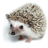 Atelerix albiventris, African pygmy hedgehog. Royalty Free Stock Photography