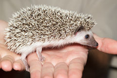 Atelerix albiventris, African pygmy hedgehog. Royalty Free Stock Image