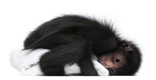 ateles смотрел на спайдер paniscus обезьяны красный Стоковое фото RF
