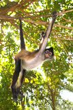 Ateles geoffroyi  Spider Monkey Central America Royalty Free Stock Photography