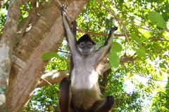 Ateles geoffroyi  Spider Monkey Central America Stock Photography