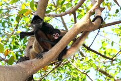 Ateles geoffroyi  Spider Monkey Central America Stock Photos