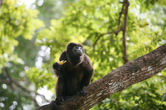 Ateles geoffroyi vellerosus Spider Monkey in Panama Royalty Free Stock Images