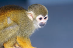 Ateles monkey Stock Photos