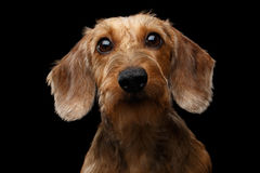 Atelieraufnahme des Dachshund-Hundes Stockbild