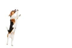Atelieraufnahme des Spürhund-Hundes springend gegen weißen Hintergrund Stockfoto