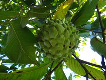 Atemoya - Fruit. The atemoya is a hybrid fruit that is obtained through the crossing of the cherimoya Annona cherimola, Mill with the pineapple fruit Annona stock image