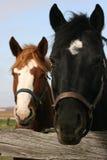 Atenção de querer da égua bonita Fotografia de Stock