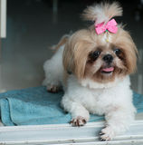 A atenção do pagamento do cão do qui-tzu para algo em casa Fotos de Stock Royalty Free