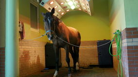 Atención sanitaria del caballo en estable, lavarse, la limpieza y el solarium almacen de metraje de vídeo