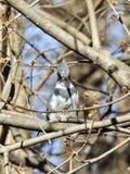 Atento del martín pescador encaramado en un árbol Fotos de archivo libres de regalías