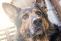 Atento mirando el perro guardián mira sus alrededores con los oídos acentuados foto de archivo