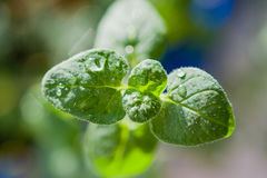 Ater droplets, dew on the tender green leaves, abstract background,. Artistic image, macro Stock Photo