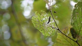 aterpillar Ð的¡是掩藏和吃叶子,爬行在叶子 影视素材