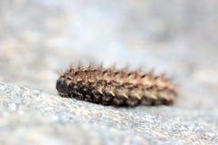 Aterpillar Ð ¡ Royalty-vrije Stock Afbeelding