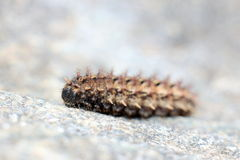 Сaterpillar. Macro photo of a caterpillar on a rock Royalty Free Stock Image