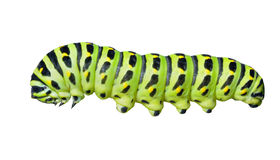 Сaterpillar of swallowtail. A close up of the caterpillar (Papilio xuthus). Isolated on white Royalty Free Stock Image