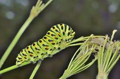 Сaterpillar of swallowtail 5 Royalty Free Stock Photography