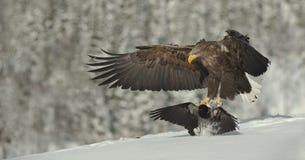 Aterragem Branco-atada macho da águia Fotografia de Stock