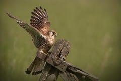 Aterragem comum do Kestrel Imagem de Stock Royalty Free